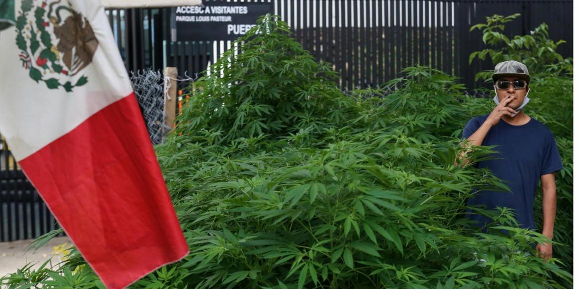 420 kannabisztő sarjadt a földből a mexikói szenátus közelében - 444