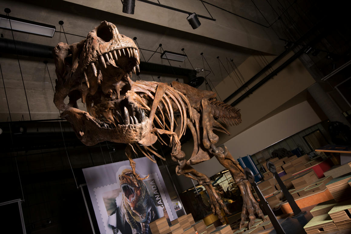 Tyrannosaurus rex, T rex, rex, dinosaur, dino, scientist, canada, skeleton, bone, Saskatchewan, paleontologist, Phil Currie, University, Alberta, whiskey