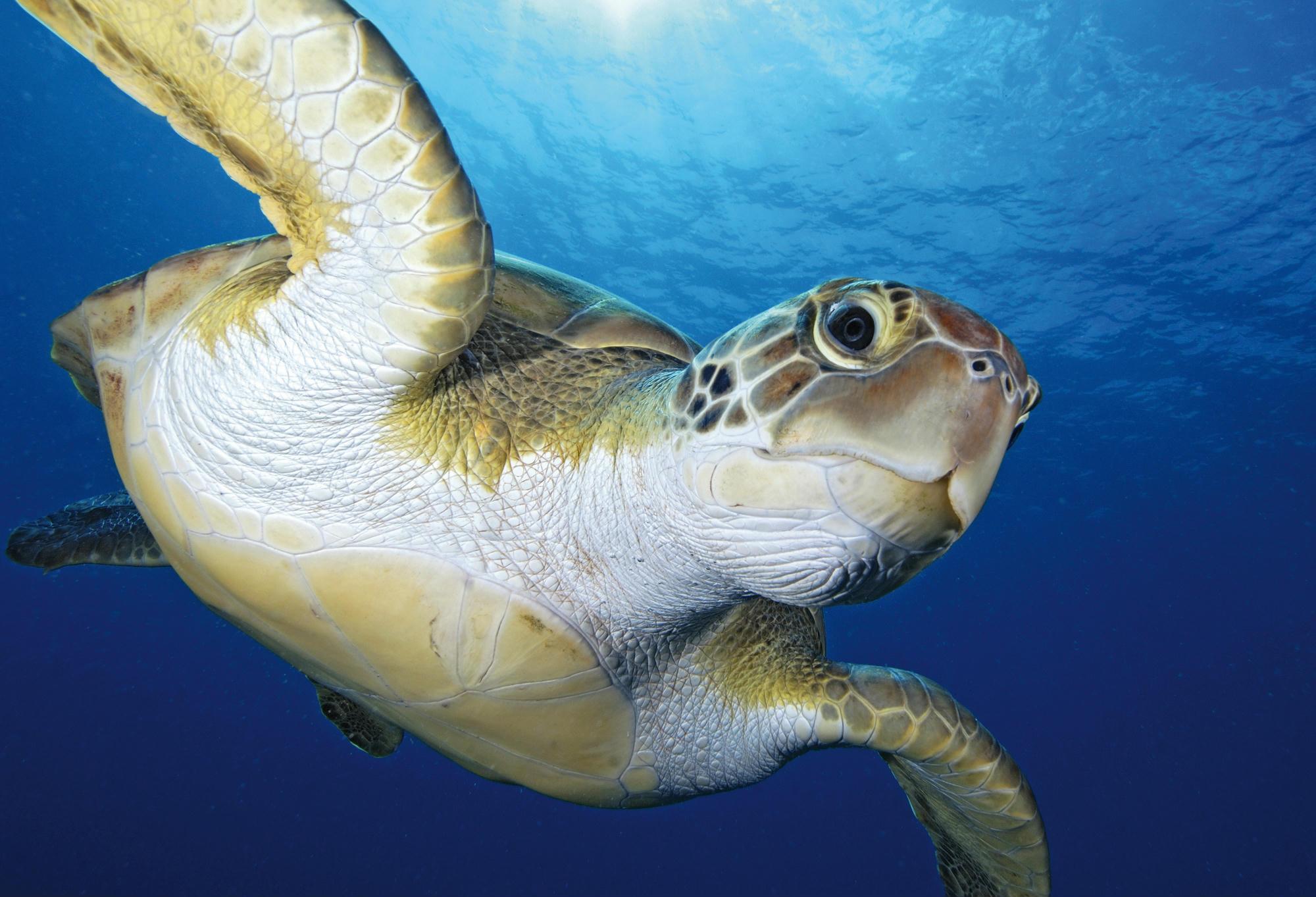 Egyre több a tengeri teknős - 444
