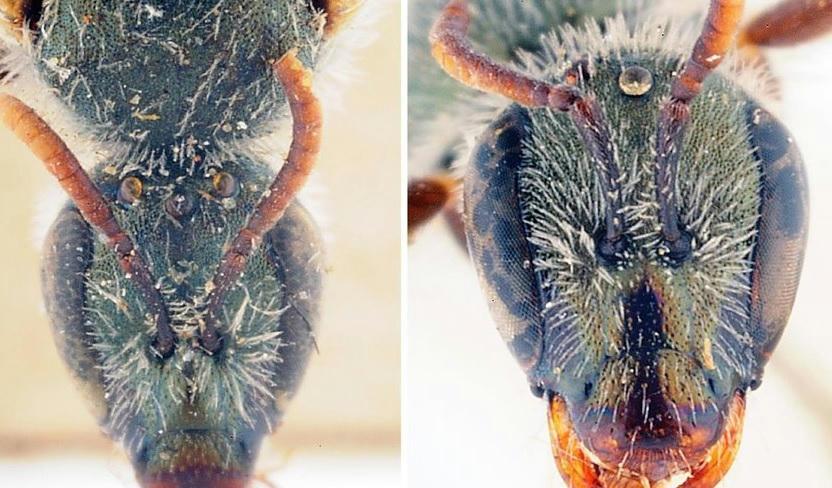 Új méhfajt azonosítottak izraeli kutatók